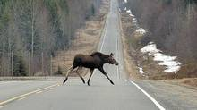 A young moose crosses a Highway in Canada. Moose crossing highways leads to over 800 accidents a year in Newfoundland, and on average two dealths. (Dave Milne/CP)