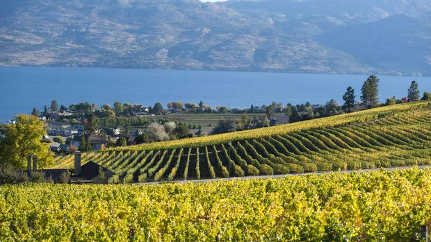 Rows of grape vines on the hillside above Okanagan Lake in British Columbia.