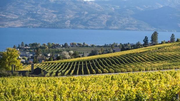 Rows of grape vines on the hillside above Okanagan Lake in British Columbia.
