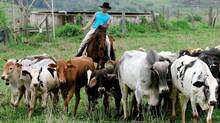 A cowboy herds cattle at the Jangada ranch in Eldorado, 800 kilometres west of Sao Paulo, Brazil, in a file photo. Brazil's beef export volume rose to 1.13 million tonnes in 2012, up 11.88 per cent from 2011. (MAURILIO CHELI/AP)