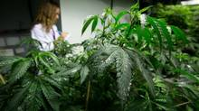 Health Canada's plans would force those who buy medicinal marijuana to acquire it from government licensed growers. (DARRYL DYCK/THE CANADIAN PRESS)