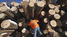 Mike Thompson at Haliburton Forest Sawmill inspects logs for home building. (FRED THORNHILL FOR THE GLOBE AND MAIL)