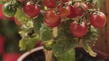 """Shepherd has discovered two varieties of tomatoes that do well in containers. Both """"Superbush"""" and """"Stupice"""" are compact plants that grow no more than 60 cm to about a metre high, making them easier to manage in containers than most bushes that can become unruly when grown in pots. """"They need only a short stake or cage for support,"""" says Shepherd, """"and they mature early, producing full-size fruit."""" Mulch with 5 cm of organic material to help keep moisture in the soil, she says, but to prevent blossom end rot, cut back on watering by about one-third once the plants have set fruit. (Getty Images/iStockphoto)"""