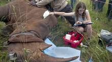 A veterinarian takes the sedated rhino's pulse from a vein on its ear. The rhino's ears are stuffed with cotton to muffle sounds, and a towel is wrapped around its eyes to help keep it calm. (Erin Conway-Smith for The Globe and Mail/Erin Conway-Smith for The Globe and Mail)