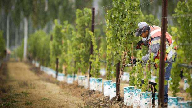 A worker picks gewérztraminer grapes at the Hidden Terrace vineyard in Okanagan falls.