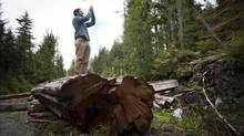 Torrance Coste with the Wilderness Committee takes a photo of what remains of an 800 year-old Red Cedar lies in the parking area at Carmanah-Walbran Provincial Park on Vancouver island June 21, 2012. (John Lehmann/The Globe and Mail)