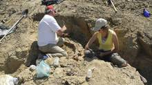 Team members work on extracting dinosaur bones at a site near Drumheller, Alta., in this recent handout photo. A former Royal Tyrrell Museum employee discovered the remains of a triceratops just 30 minutes east of the museum in Drumheller. (HO/THE CANADIAN PRESS)