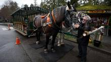 Gerry O'Neil, president of Stanley Park Horse-Drawn Tours, checks on horses Gritt, left, and Barry while waiting for customers in Vancouver, B.C., on Tuesday March 25, 2014. The company will be moving approximately 100 metres west to a safer, permanent location off the road. (DARRYL DYCK/THE GLOBE AND MAIL)