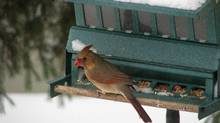 A female cardinal feeds from a birdfeeder in a Toronto backyard following a snowstorm Thursday afternoon, Dec. 27, 2012. (Richard Plume/THE CANADIAN PRESS)