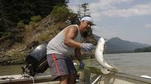 Tyrone McNeil lands a sockeye salmon on the Fraser River, where fish populations have been in decline. (Lyle Stafford)