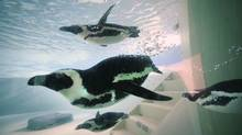 African penguins are photographed swimming around their enclosure Monday at the Metro Toronto Zoo where a press conference was held to discuss the zoo's breeding program. Six other penguins, not part of this group, are an important part of the zoo's Species Survival Plan and zoo officials are hopeful penguin chicks will be born as early as January, 2012. The breeding program is integral to survival of the endangered species. (Fred Lum/The Globe and Mail/Fred Lum/The Globe and Mail)