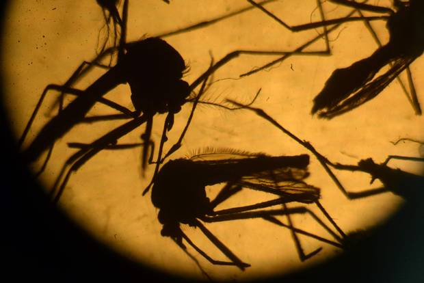 Aedes aegypti mosquitoes in a laboratory at the University of El Salvador.