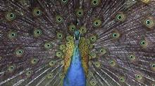 Is a peacock's mating ritual any different than a job-seeker's ploy to get noticed? (DARRIN ZAMMIT LUPI/REUTERS)