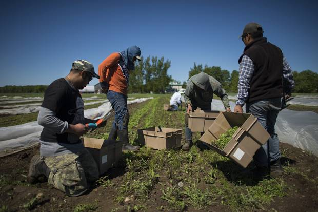 Workers, most from Mexico, wear knee pads while harvesting baby arugula and other salad greens at The New Farm located north of Shelburne, Ont., on June 7 2017.