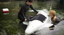 Vancouver Aquarium marine mammal trainers Kristi Heffron and Jenna Petersen work with Aurora, a beluga whale, being, is fitted with a vest that will hold cables to measure her resting metabolic rate. The data acquired is helping to assess energy requirements for adult belugas in the wild. (John Lehmann/The Globe and Mail)