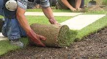 A good cleanup project would be laying new sod to improve the appearance of a tired lawn. (Istockphoto)