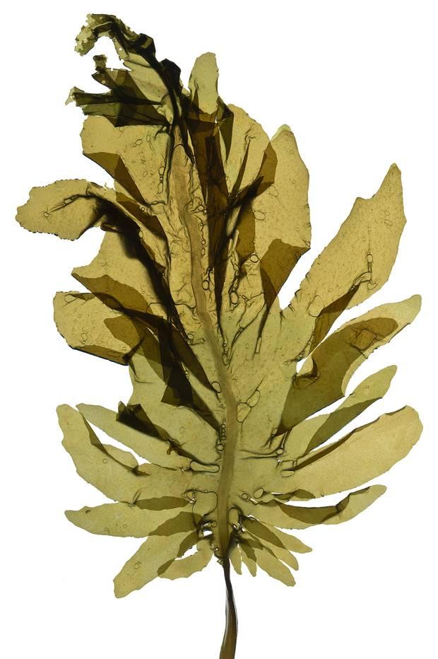 Wakame (Undaria pinnatifida)