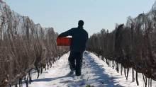A scene from the harvesting of frozen grapes for icewine production at Henry of Pelham Winery in Ontario's Niagara region, December of 2002. (J.P. Moczulski/The Globe and Mail)