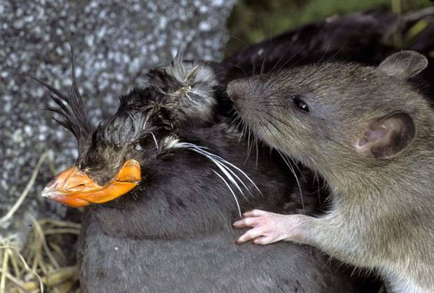 The majority of rat-borne diseases, Dr. Chelsea Himsworth says, are transmitted through rat urine, feces and fleas.