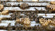 A Health Canada agency says neonic-treated corn is to blame for the death of bees in Ontario and Quebec. (Deborah Baic/The Globe and Mail)