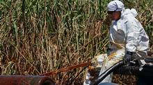 BP contract worker cleans oil from a marsh near Venice, Louisiana (Win McNamee/2010 Getty Images)