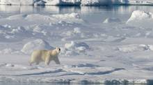 A polar bear stands on a ice flow in Baffin Bay above the arctic circle as seen from the Canadian Coast Guard icebreaker Louis S. St-Laurent Thursday, July 10, 2008. (Jonathan Hayward/The Canadian Press/Jonathan Hayward/The Canadian Press)