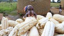 A farmer stacks her crop of maize in Chivi, about 378 kilometres southeast of Harare, Zimbabwe. Supplies of maize and wheat are tightening around the globe. (PHILIMON BULAWAYO/REUTERS)