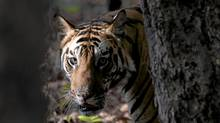 Seeing a Bengal tiger this close, with no noisy gang of tourists nearby, is an intense, nearly spiritual experience. (Patrice Halley/Patrice Halley)