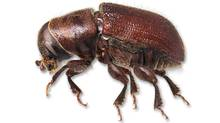 A mountain pine beetle is shown in a handout photo. (CP)