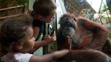 Twenty-five-year old orangutan Budi interacts with children outside her enclosure at the Toronto Zoo, Aug. 23, 2012. (Galit Rodan/The Globe and Mail)