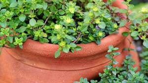 Thyme is one of a few culinary plants that can withstand