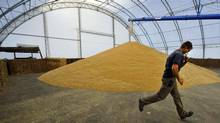A worker unloads wheat at a farm near Fort MacLeod, Alta., on Sept. 26, 2011. (TODD KOROL/Todd Korol/Reuters)