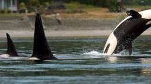In this photo taken July 18, 2013, an orca whale breaches as the pod swims through Liberty Bay in Poulsbo, Wash. (Meegan M. Reid/THE CANADIAN PRESS)