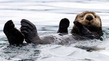 A sea otter floats in Kachemak Bay, Alaska, in this July 1, 2003 file photo. (Laura Rauch/AP)