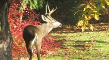 "Stephen McIntyre sent us this photo: ""A handsome buck comes to eat our backyard apples, Langley, B.C."" (Stephen McIntyre/Stephen McIntyre)"