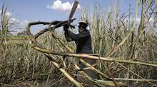 A worker cuts sugar cane for raw sugar and ethanol fuel production in Pradopolis, about 300 kms northwest of Sao Paulo, Brazil. (RICKEY ROGERS/REUTERS/RICKEY ROGERS/REUTERS)