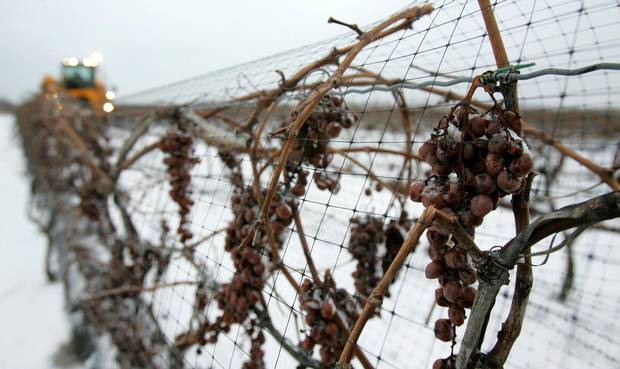FILE--Ice wine grapes are harvested in Niagara-on-the-Lake, Ont., Friday, Jan. 26, 2007. A federal foreign development program that gave $108,000 to a Niagara winery to study ice wine prospects in China is under review by the Harper government. The same business partnership program paid $103,000 to a Montreal company to run a sewing factory in China that makes lingerie. Critics and federal officials alike are asking if such investments are the best use of aid cash. THE CANADIAN PRESS/Dave Chidley