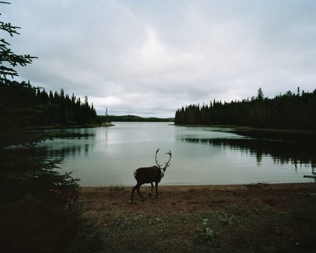 Woodland Caribou, Slate Islands, Ontario.