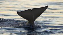 The whale-watching season in B.C. kicked off April 1 and runs until October. (iStockphoto/iStockphoto)