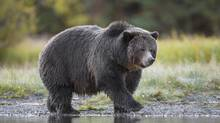 "The B.C. grizzly nicknamed ""Big Momma."" Wildlife experts worry that the bears in the B.C. management units will be easy for hunters to kill because they have grown used to humans. (© John E. Marriott/wildernessprints.com)"
