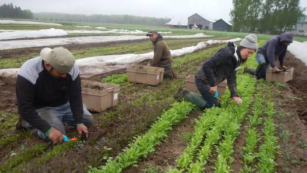 Gil harvesting