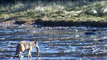 A wolf catches a salmon. Having already feasted on pink salmon for several hours, this wolf is in no hurry to catch another fish. Recorded by Pacific Wild's remote camera system. October 2013. (pacificwild.org)