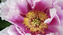 A tree peony will last forever if treated properly.