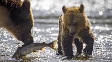 A female grizzly bear retrieves a dead salmon for her cub in Knight Inlet, B.C., on Sept. 18, 2013. (John Lehmann/The Globe and Mail)