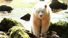 The population of Spirit Bears is stable, but small. Researchers put the number between 100 and 500. (Kevin J. Smith/Maple Leaf Adventures)