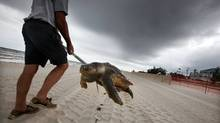 A dead sea turtle is carried out of the surf on April 14, 2011 in Waveland, Mississippi. Local turtle activists Donald and Shirley Tillman say they have discovered 19 dead sea turtles in Mississippi in the month of April alone and suspect they are dying due to the effects of the BP oil spill. (Mario Tama/Getty Images)