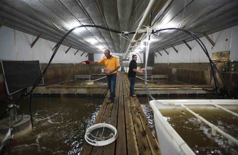 Meet the father-son farmer duo revolutionizing Ontario's shrimp