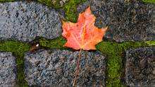 A fallen maple leaf gathers rain drops on a cobblestone sidewalk in downtown Ottawa Friday Oct.9, 2009. Showers are expected in the region through the long weekend. (Adrian Wyld)