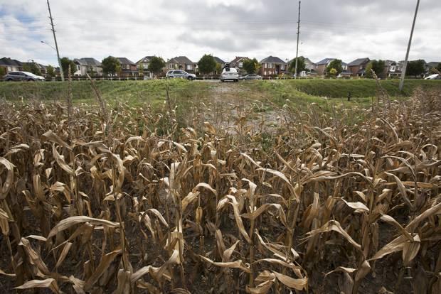 Dried cornstalks sit in a field across from new housing on Major MacKenzie Drive East in Unionville, Ont.