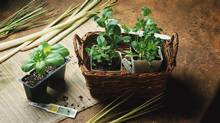 PHOTODISC -- HERB BASKET -- basil, cilantro, parsley, mint, Credit to Photodisc (PHOTODISC)